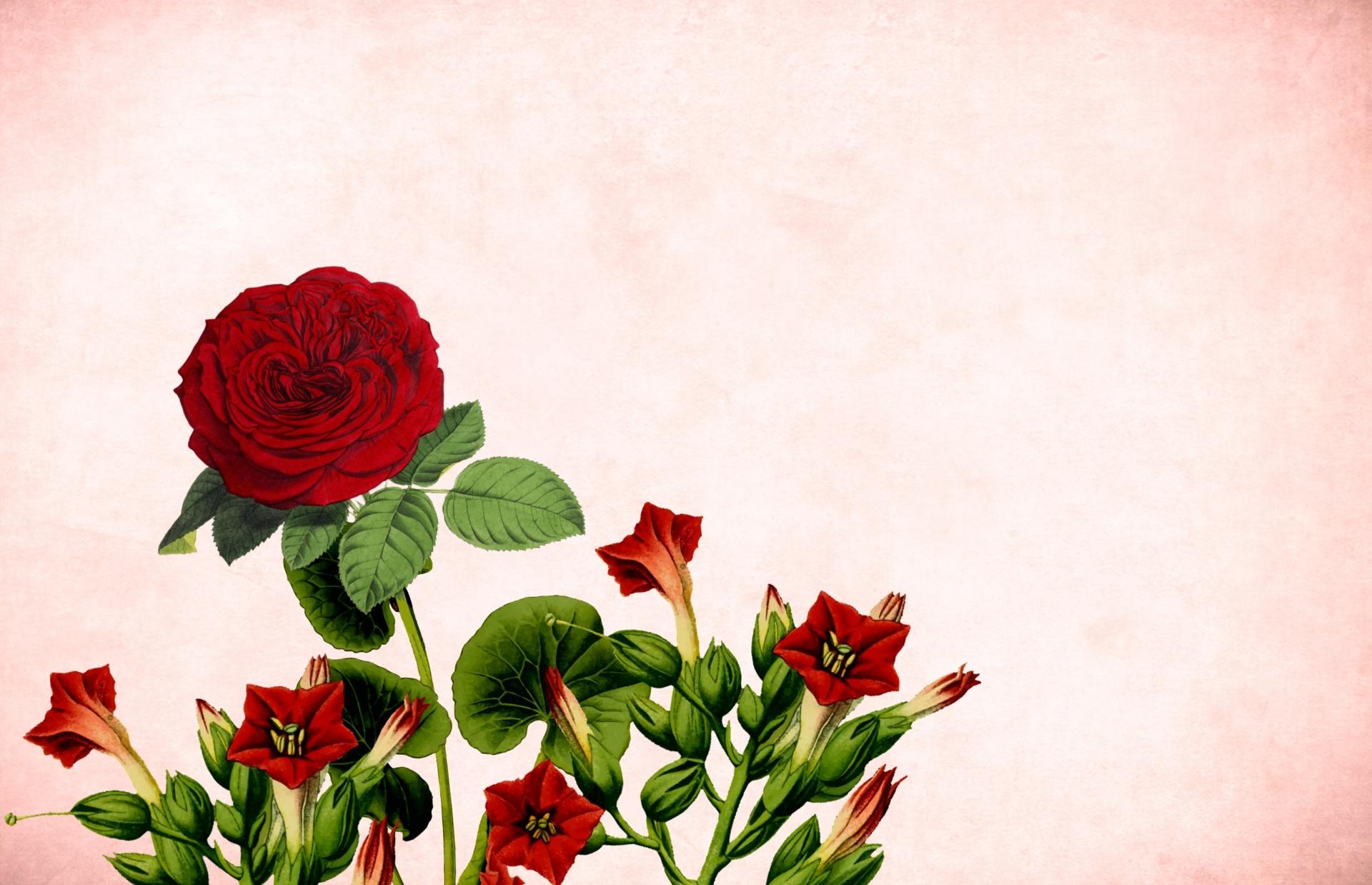 Hình ảnh background hoa hồng
