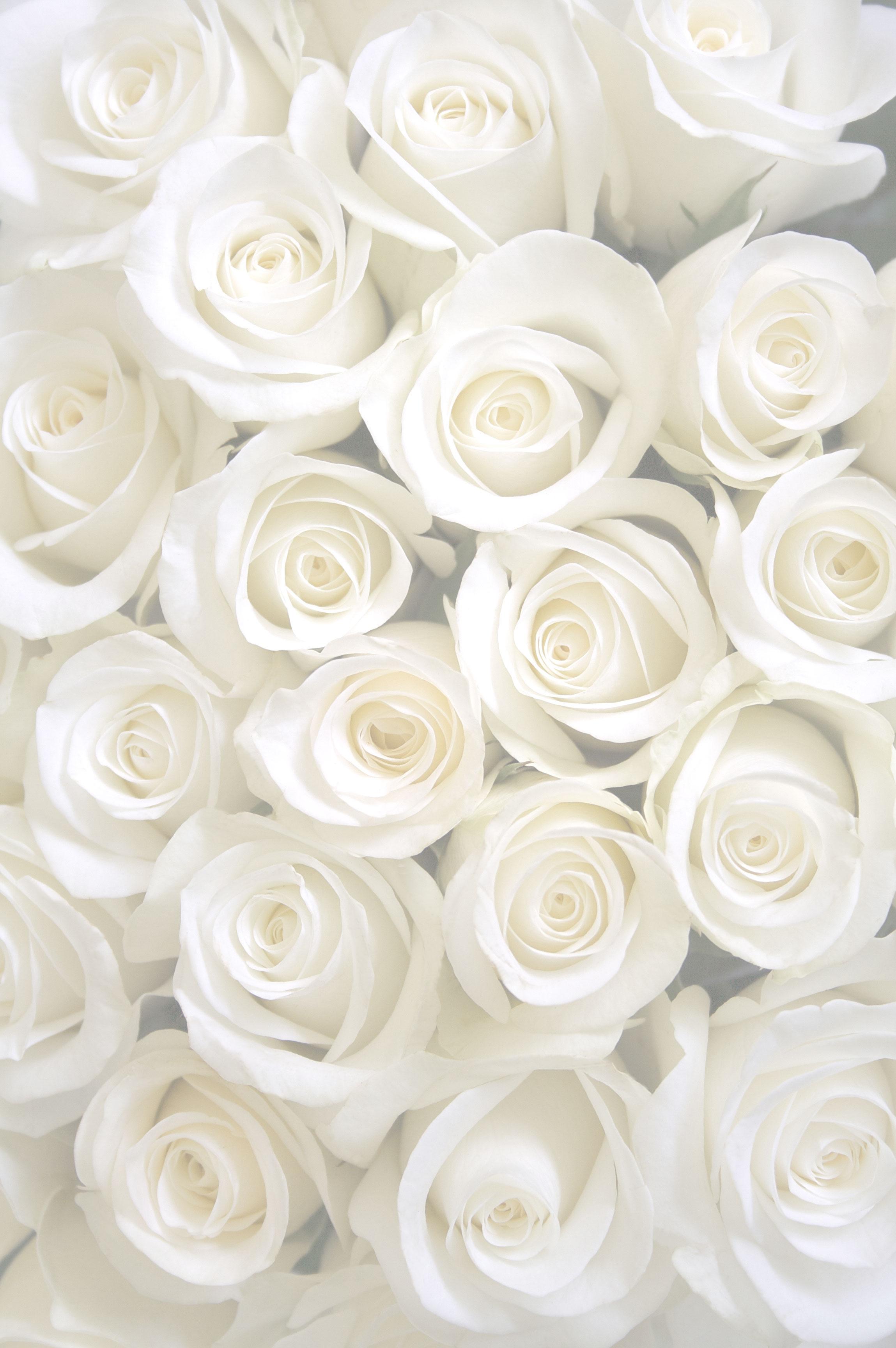 Hình ảnh hoa hồng trắng làm background