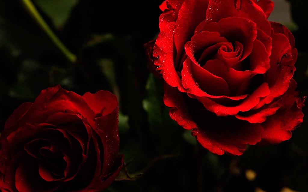 Hình background hoa hồng