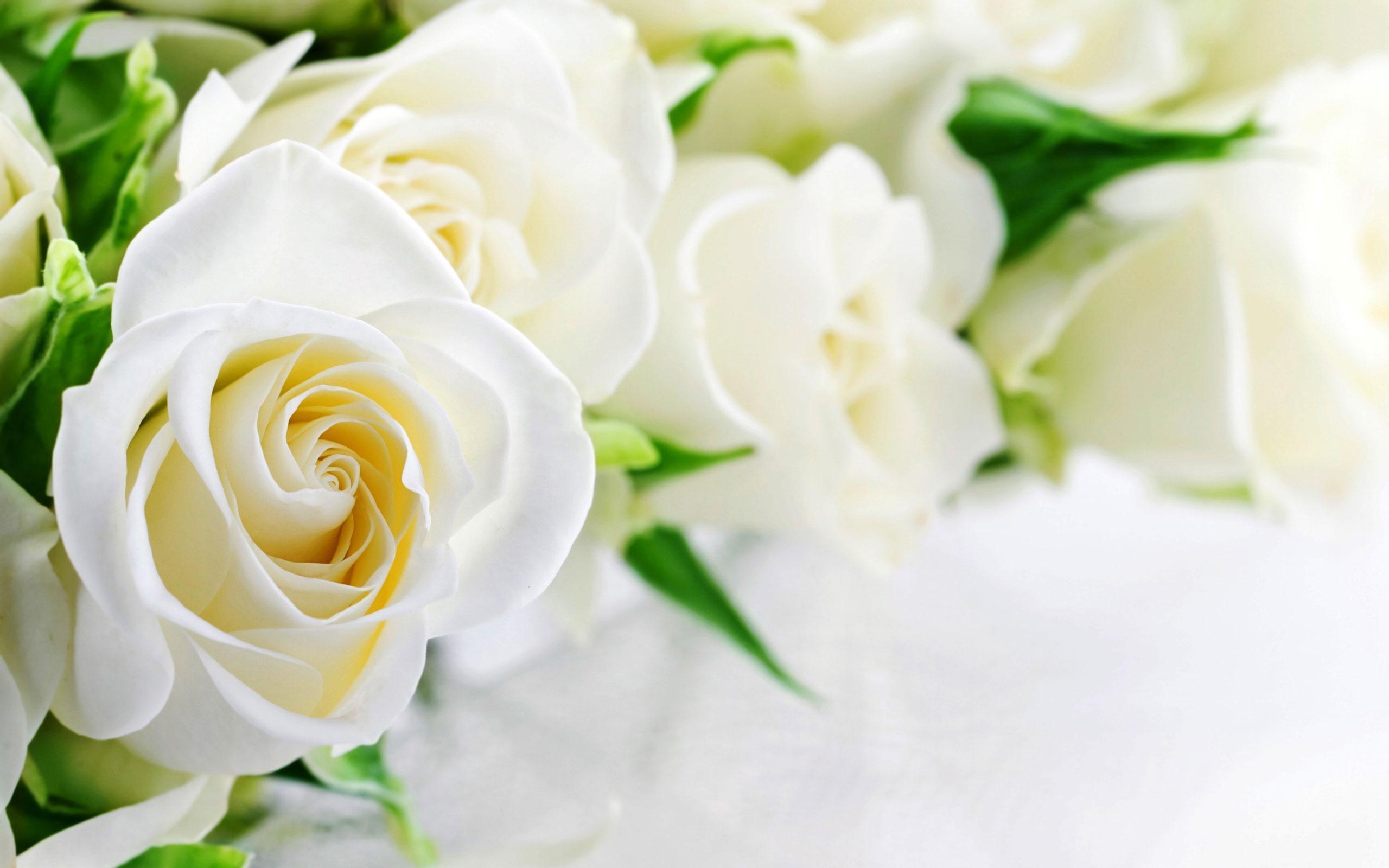 Hoa hồng trắng background