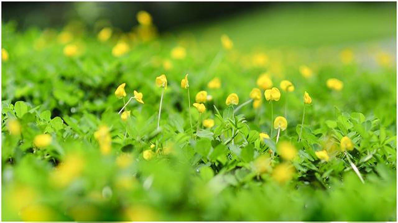 Ảnh hoa vàng trên bài cỏ xanh