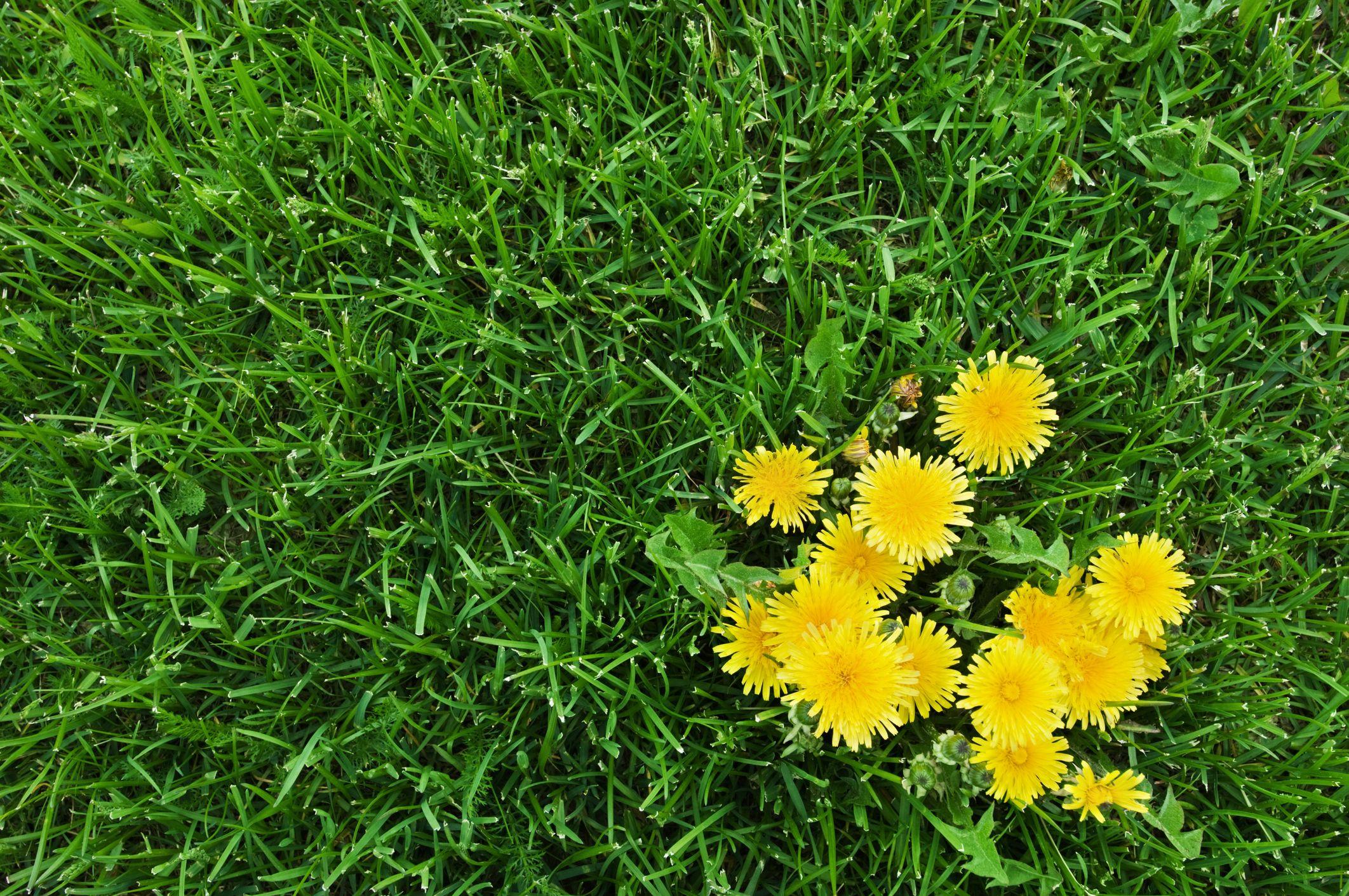 Hình ảnh hoa cúc vàng và cỏ xanh