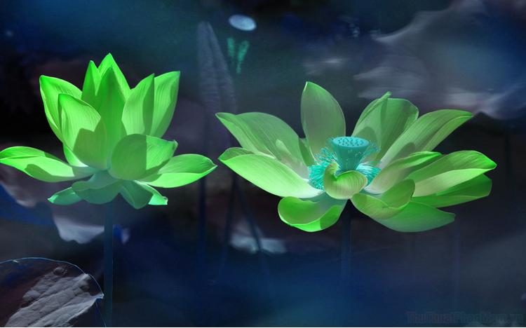Hình ảnh hoa sen xanh đẹp