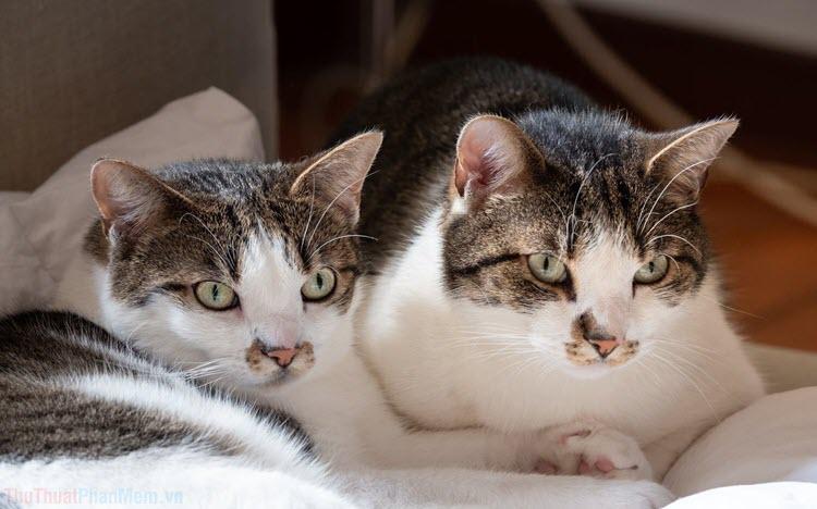 Hình ảnh mèo mướp đẹp