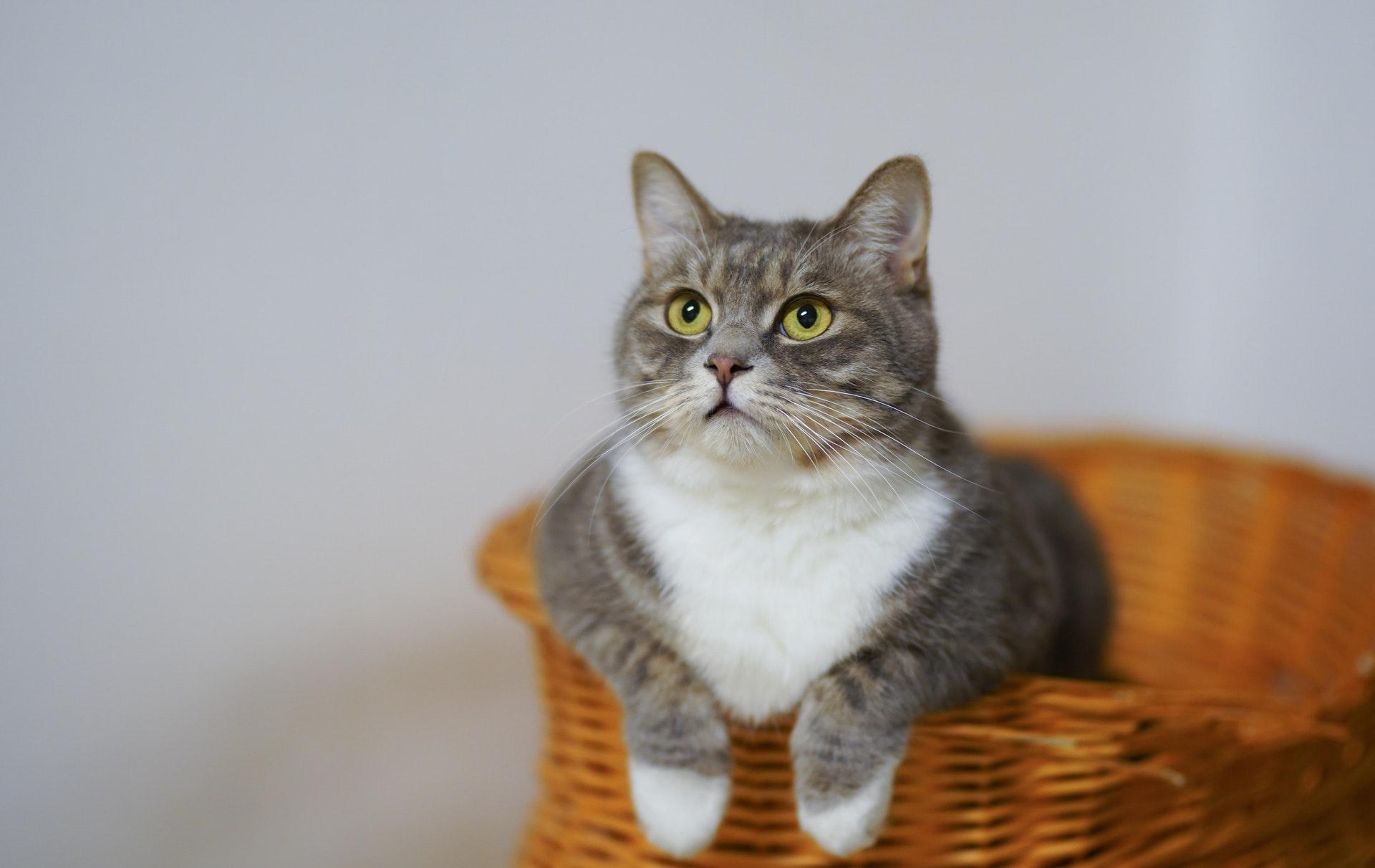 Hình nền mèo