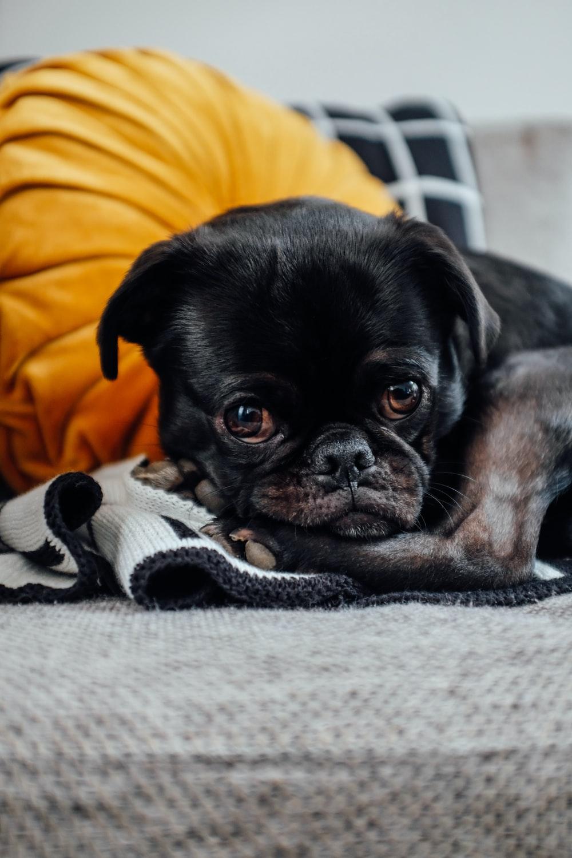 Hình ảnh bé chó pug lông đen buồn rầu