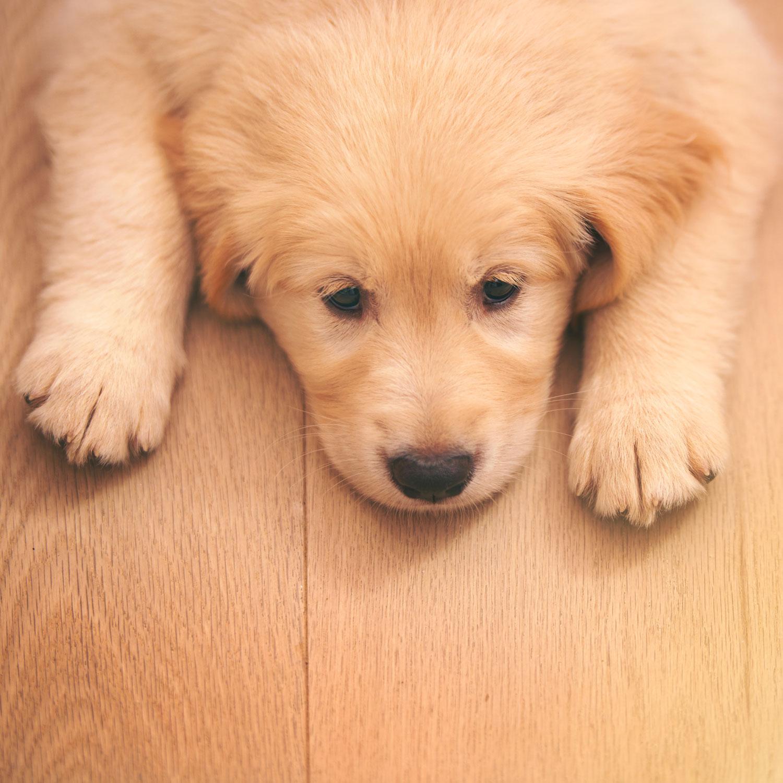 Hình ảnh bé cún chó con buồn