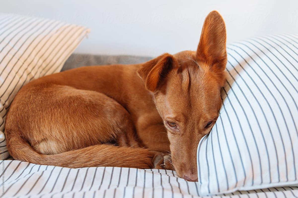 Hình ảnh chó buồn nằm trên giường