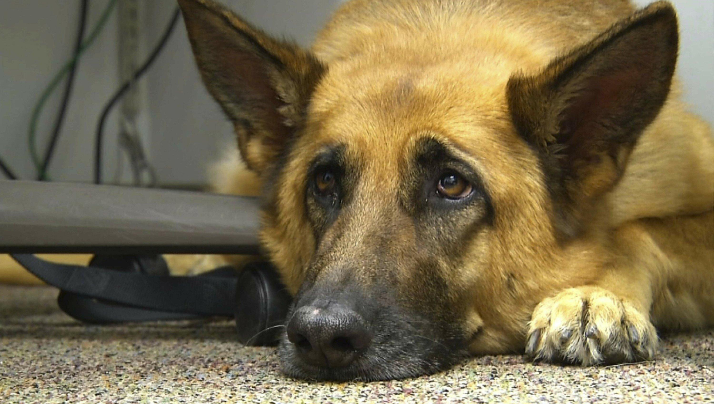 Hình ảnh chó cảnh sát ngước mắt buồn bã