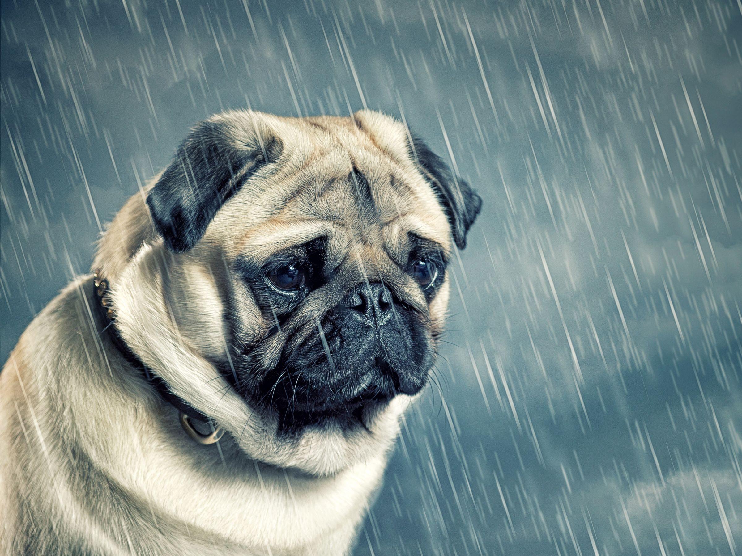 Hình ảnh chó pug buồn trong mưa