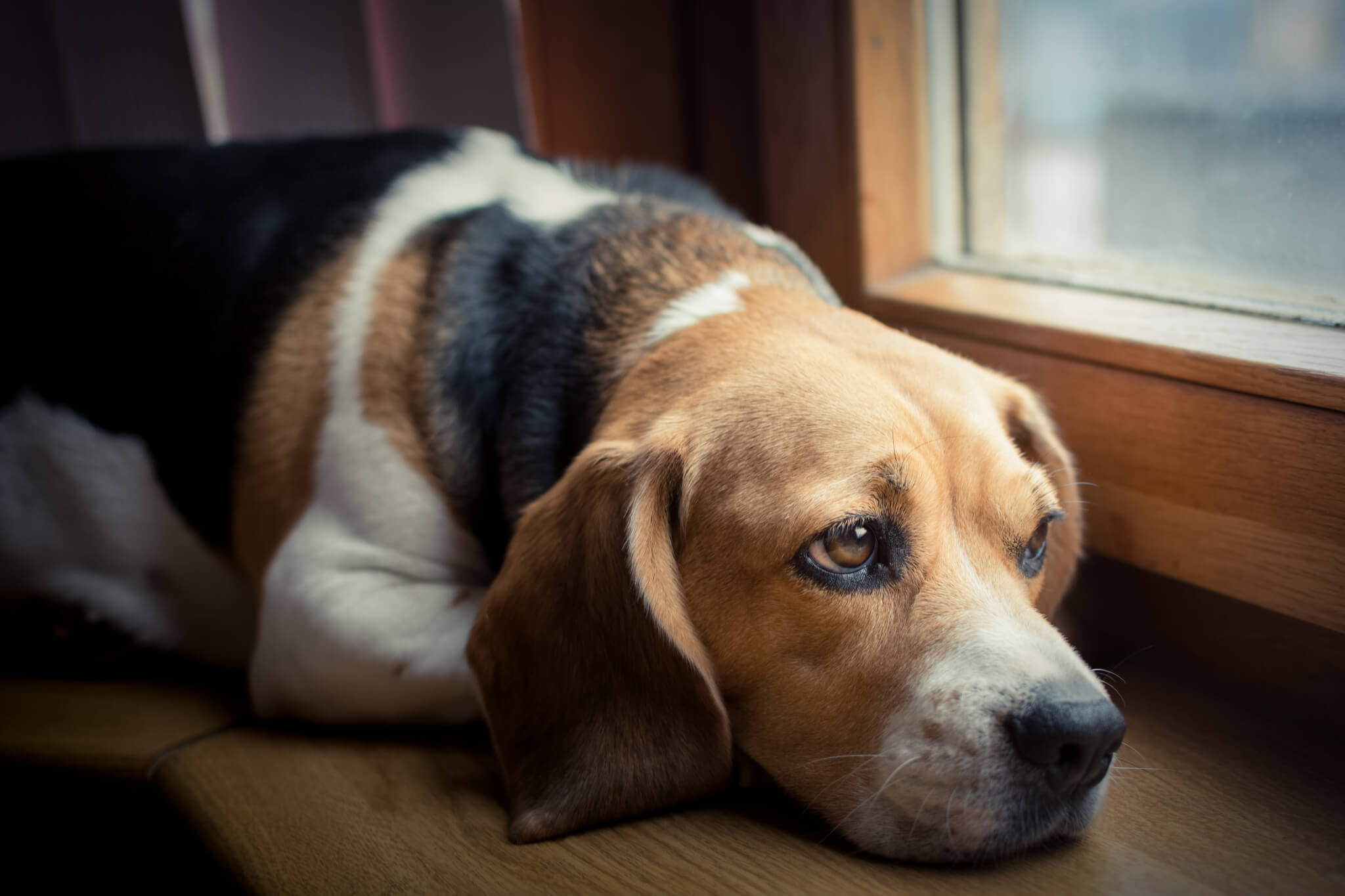 Hình ảnh chú chó buồn đưa mắt nhìn ra ngoài cửa sổ