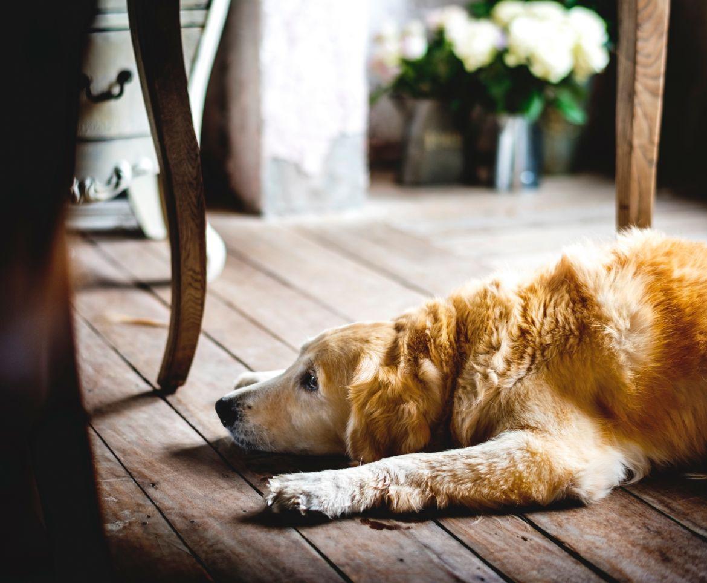 Hình ảnh chú chó buồn ngước mắt nhìn