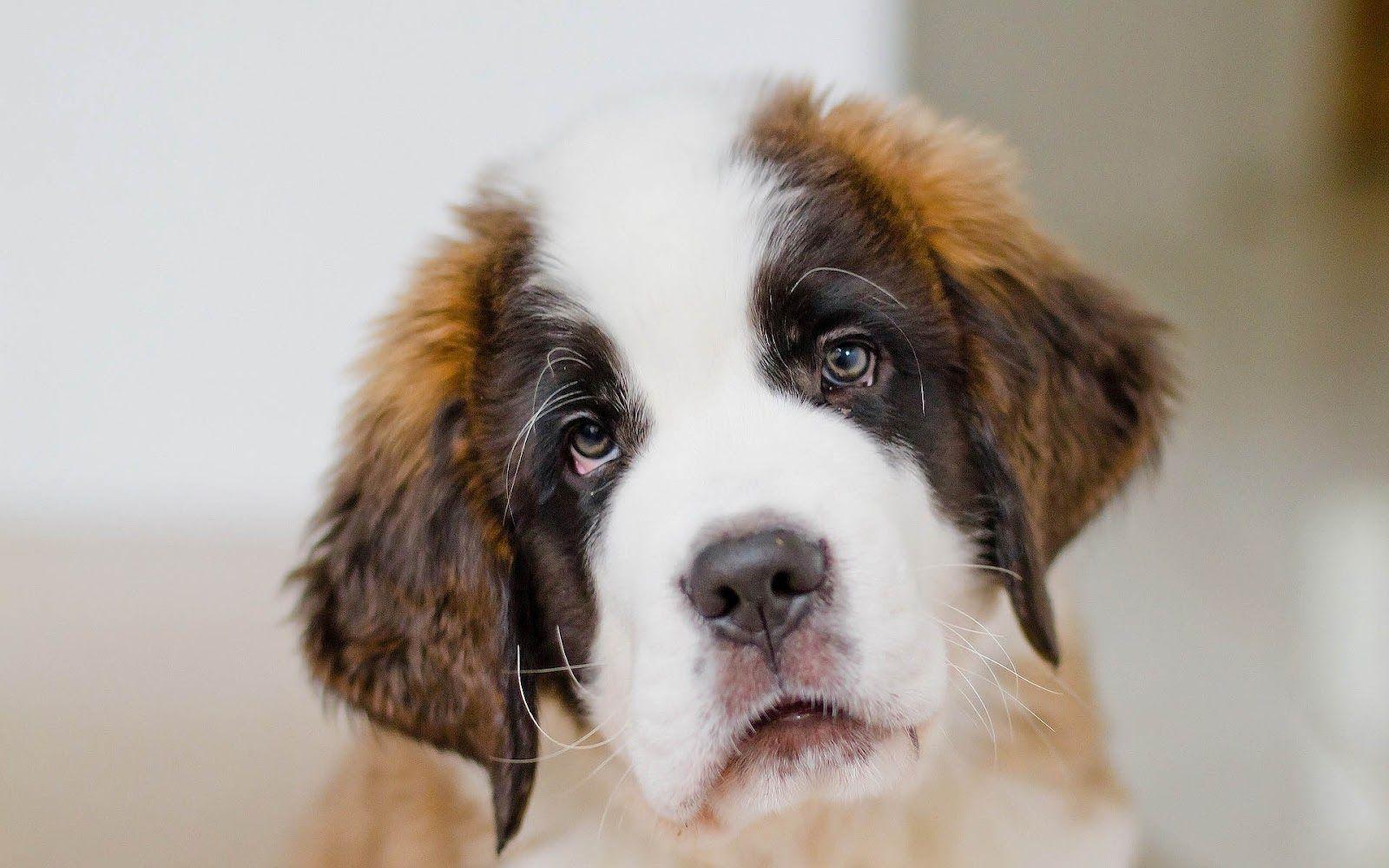 Hình ảnh chú chó có đôi mắt buồn