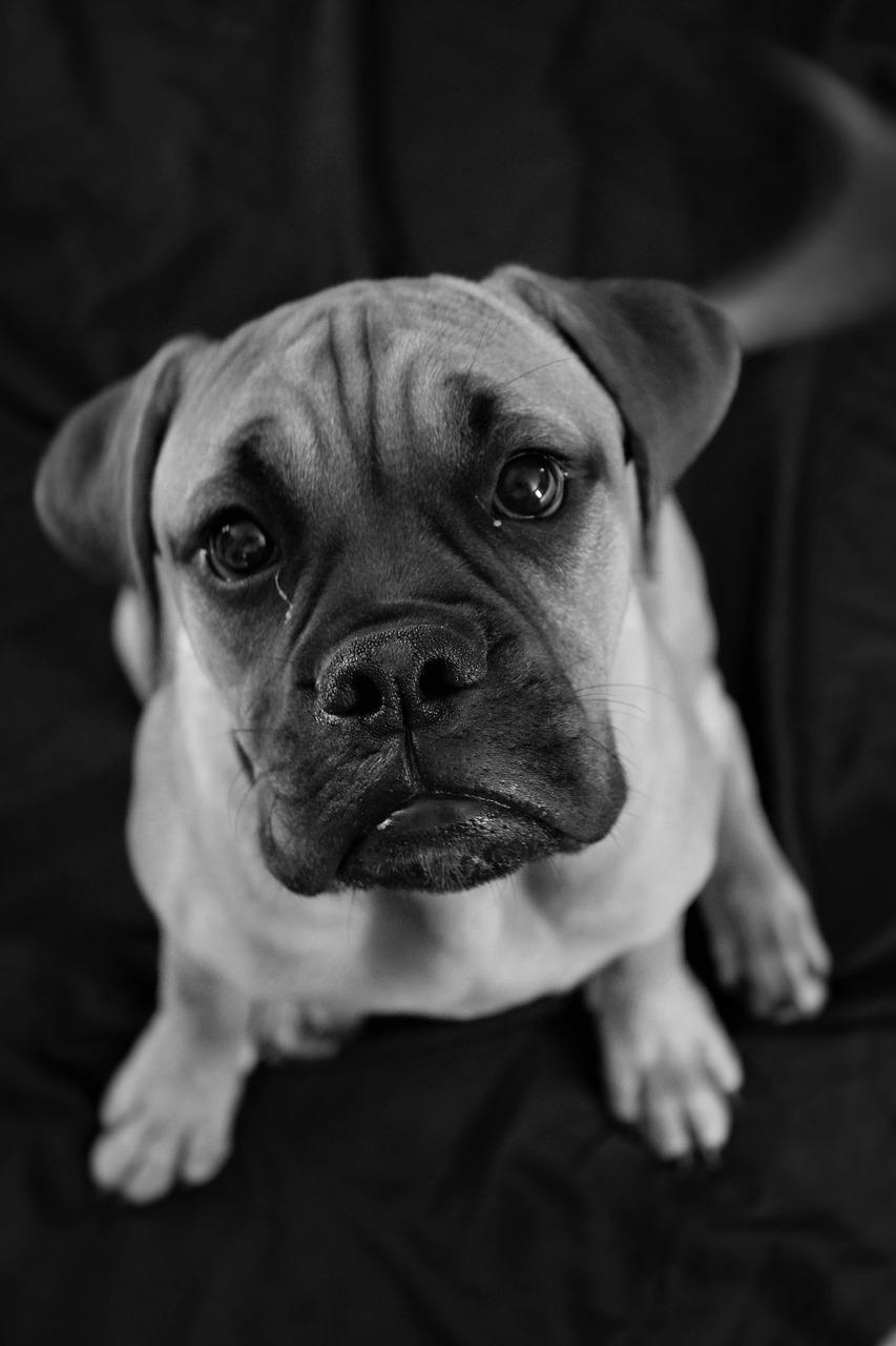 Hình ảnh chú chó đen trắng buồn bã