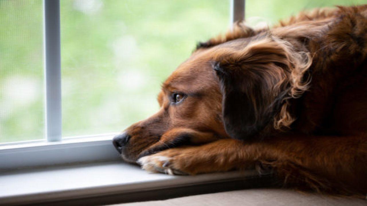 Hình ảnh chú chó đẹp buồn nhìn ra ngoài cửa sỏ