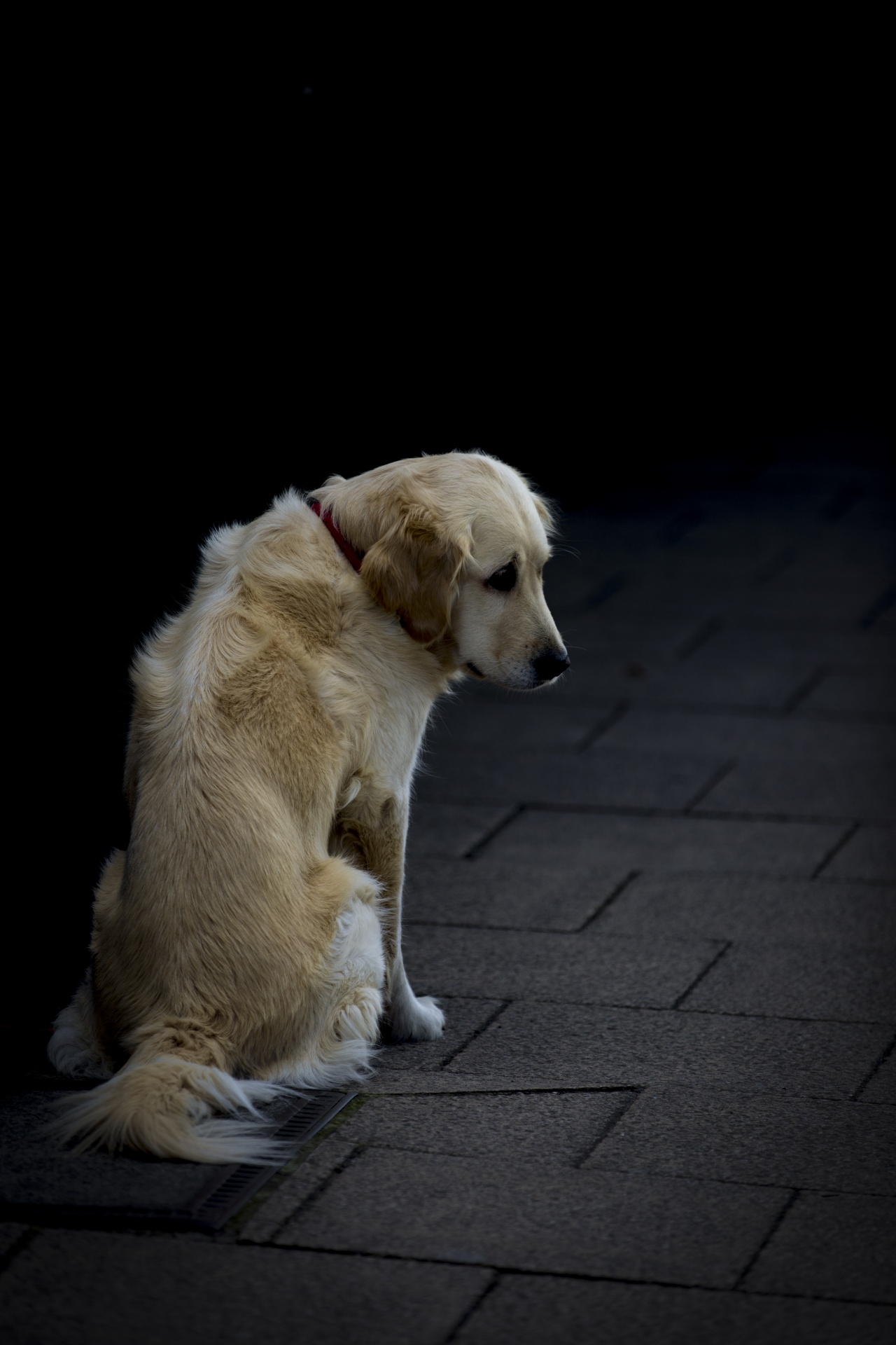Hình ảnh chú chó golden xinh xắn nhưng buồn bã