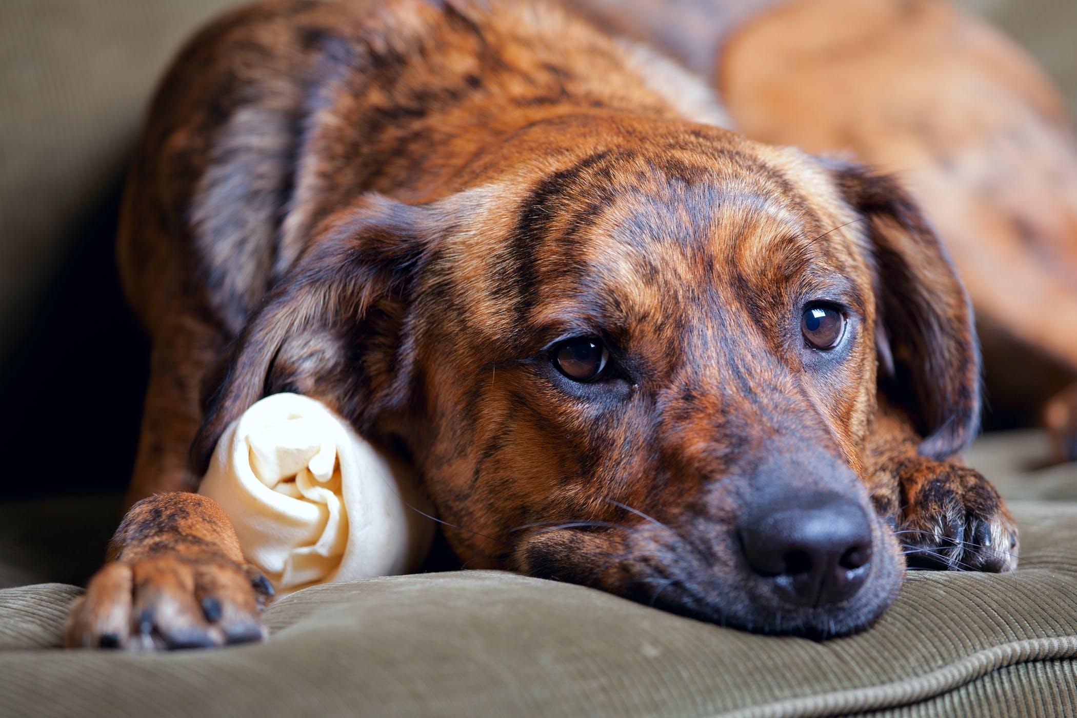 Hình ảnh chú chó lông vện cực đẹp