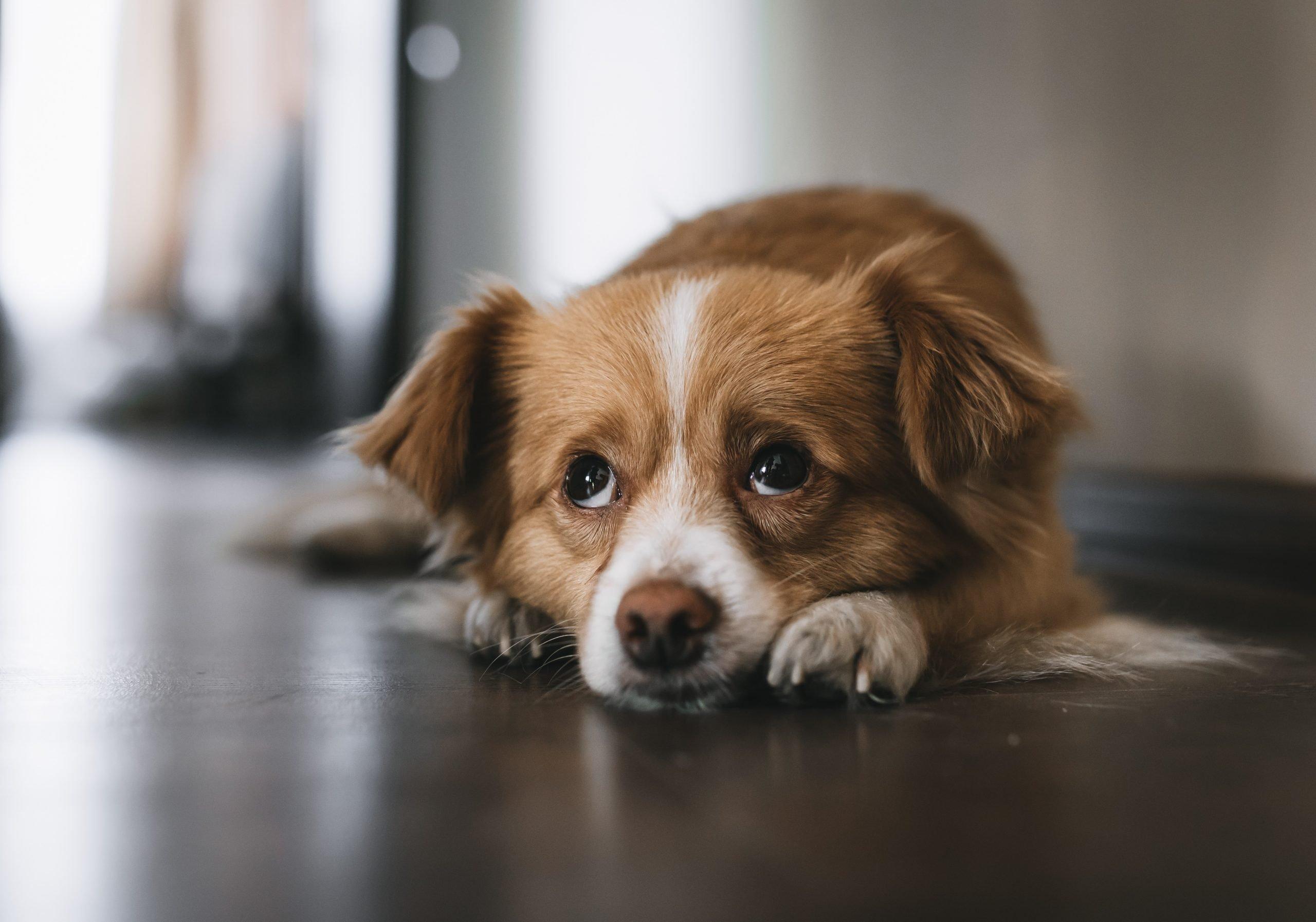 Hình ảnh chú chó ngước mắt buồn bã