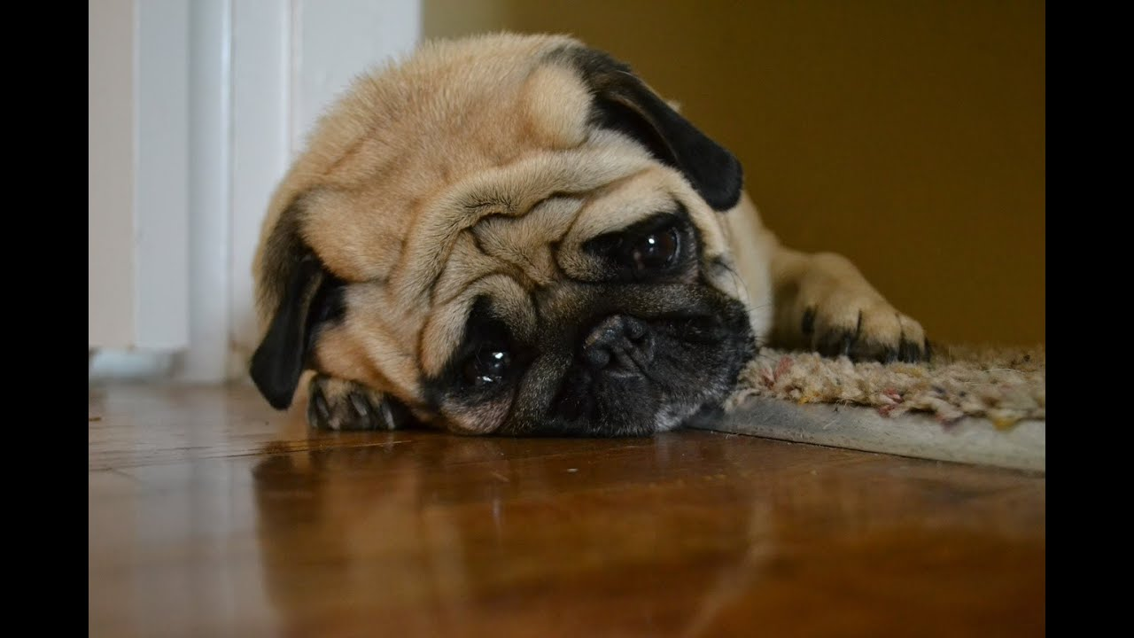 Hình ảnh chú chó pug buồn bã trông như sắp khóc