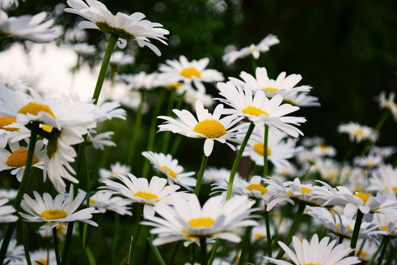 Ảnh bông hoa cúc hoạ mi