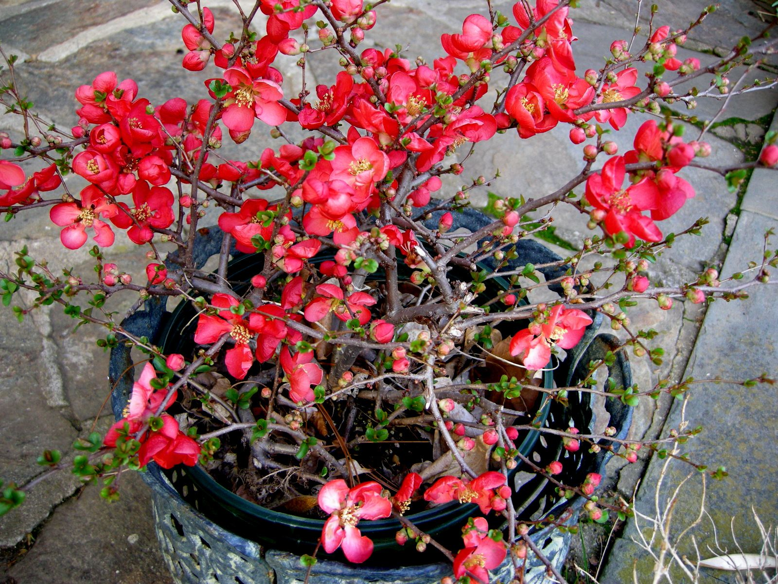 Ảnh cây Bonsai mai đỏ