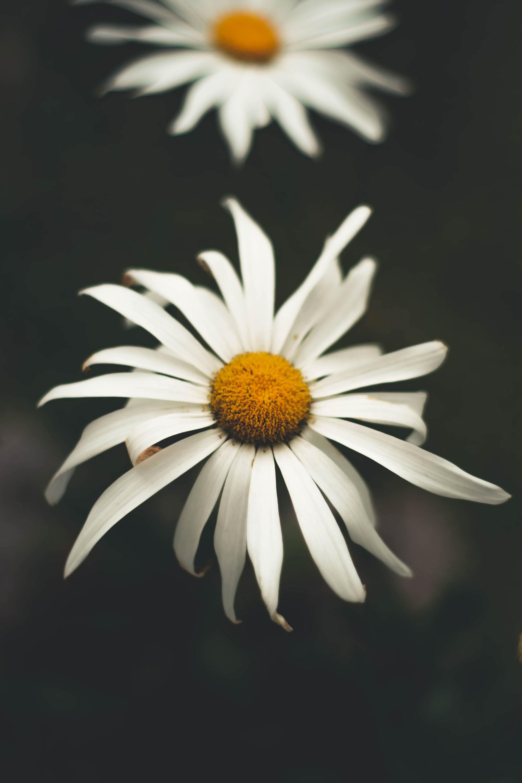 Ảnh hoa cúc dại đẹp nhất