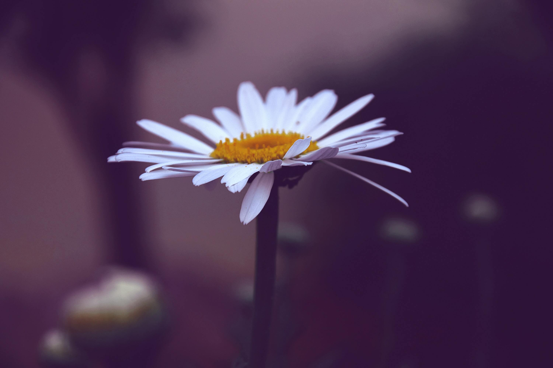 Ảnh hoa cúc dại đẹp