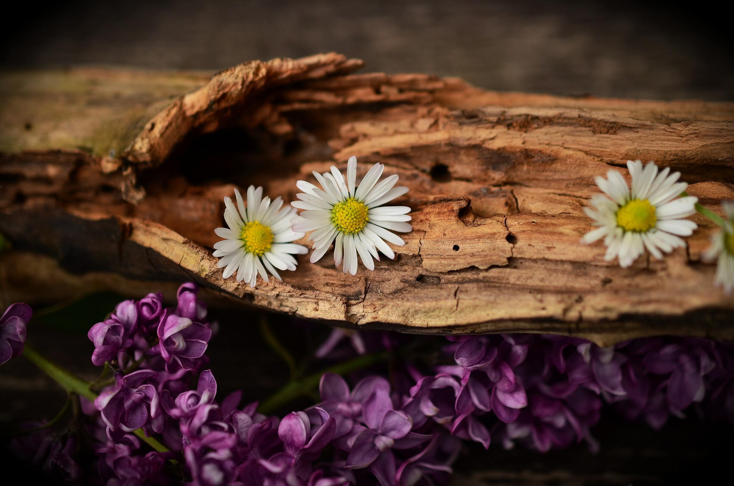 Ảnh hoa cúc dại nhị vàng