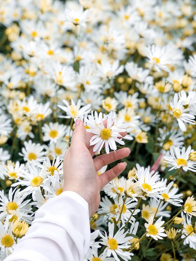 Ảnh hoa cúc dại trắng đẹp