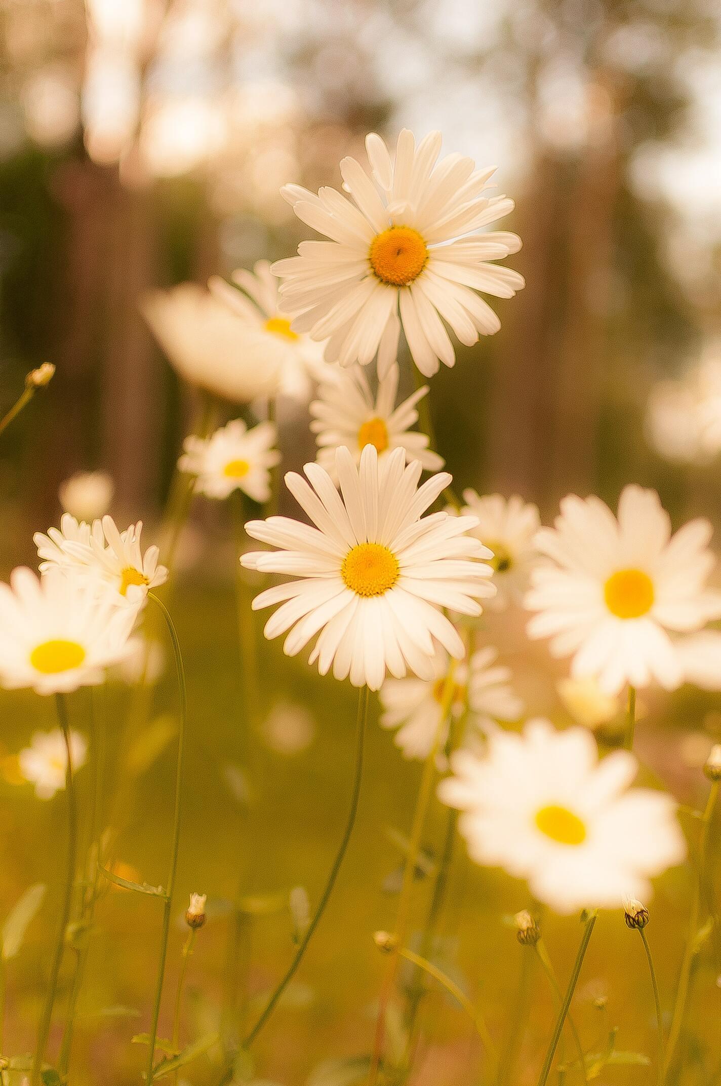 Ảnh hoa cúc dại trong nắng