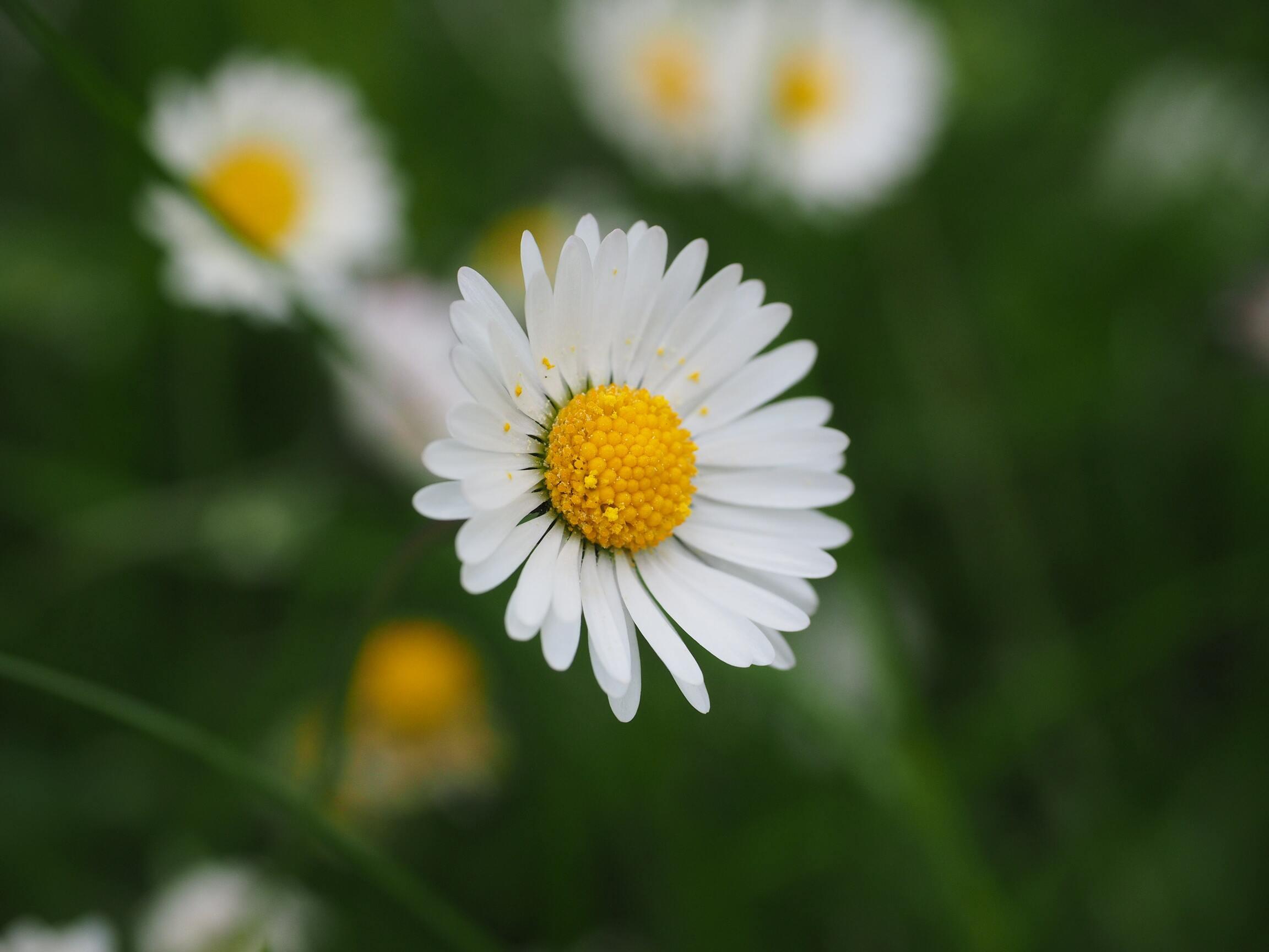Ảnh hoa cúc dại
