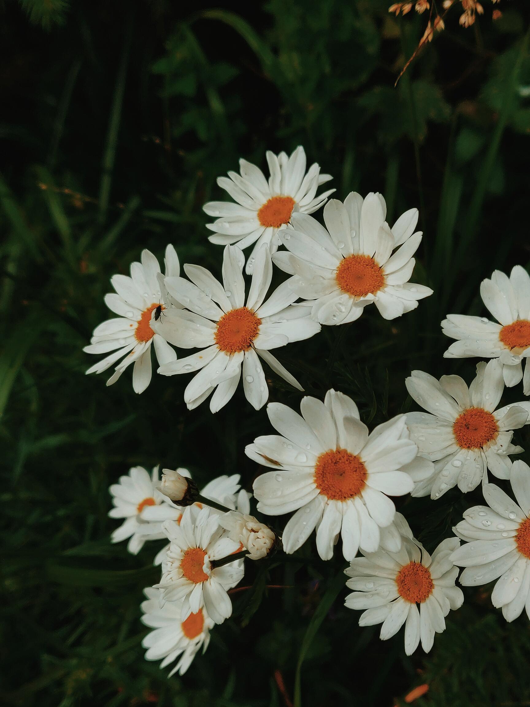Ảnh hoa cúc mọc dại đẹp nhất