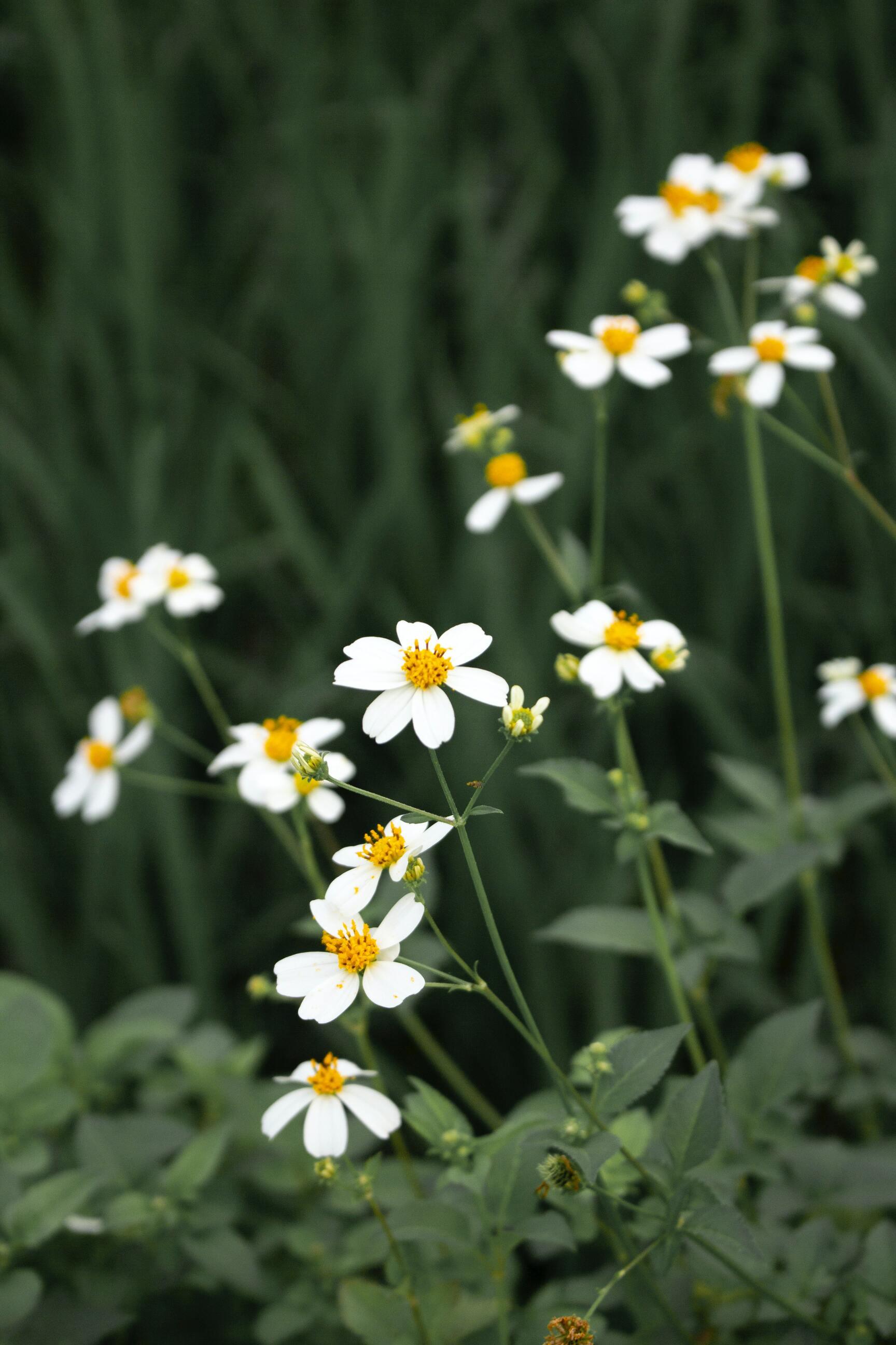 Ảnh hoa cúc mọc dại