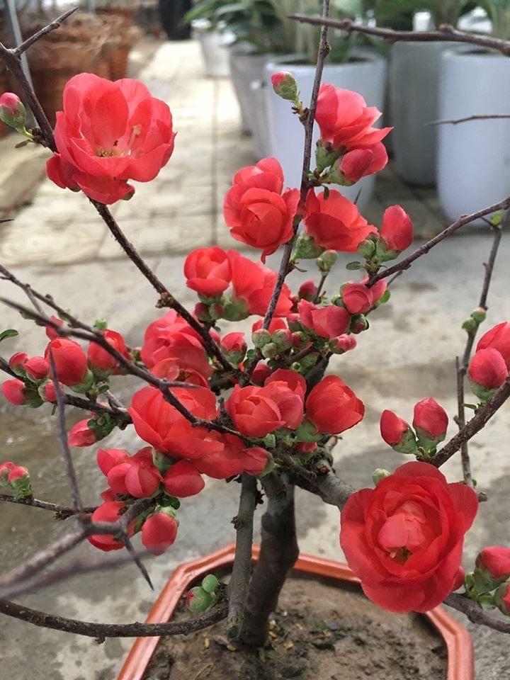 Ảnh hoa mai đỏ Bonsai
