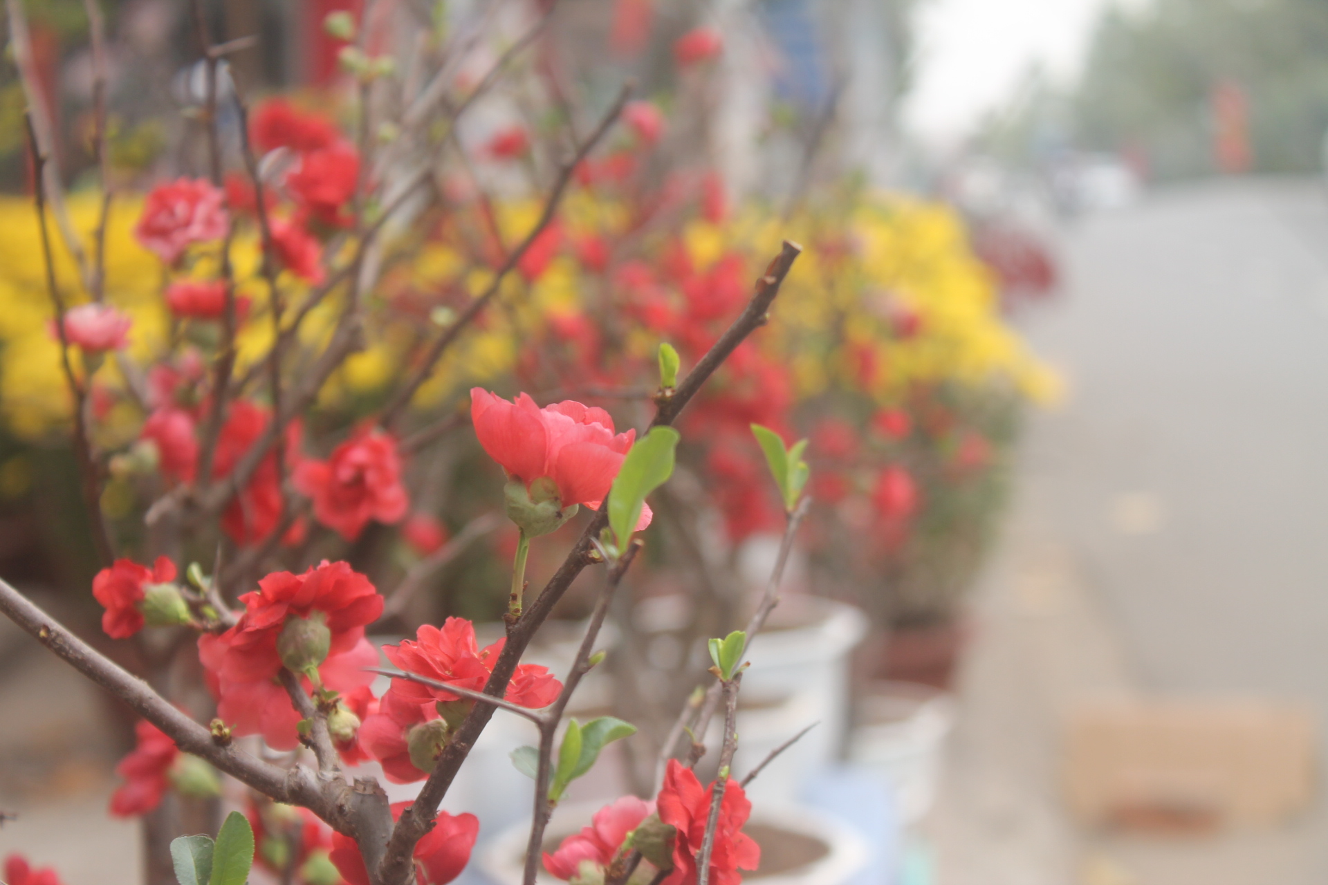 Ảnh hoa mai đỏ đẹp nhất