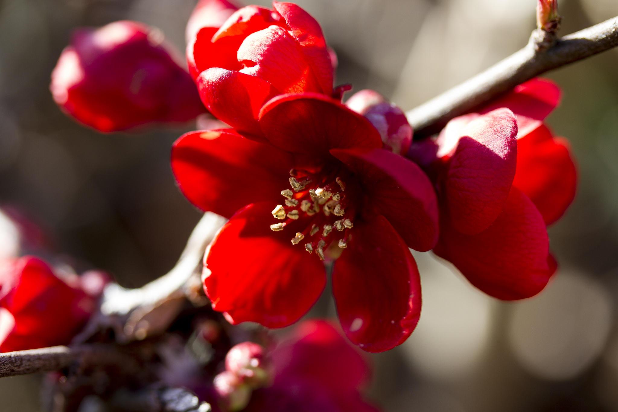 Ảnh hoa mai đỏ thắm cực đẹp