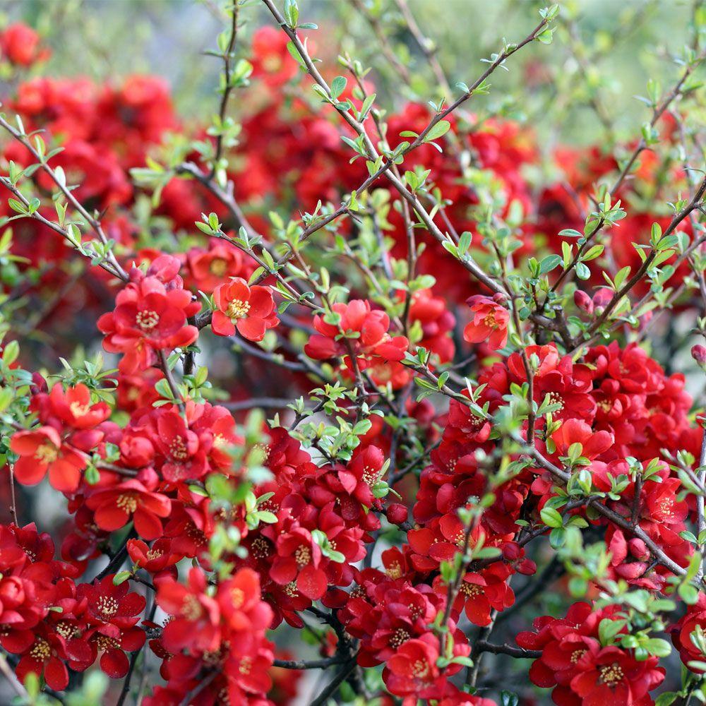 Ảnh hoa mai đỏ thắm
