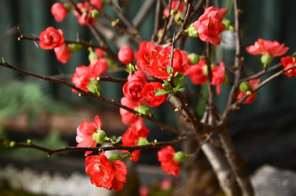 Ảnh hoa mai nở đỏ thắm