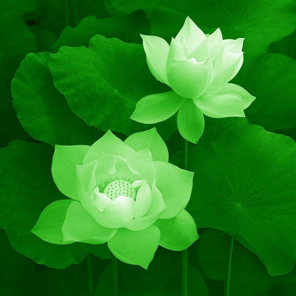 Ảnh hoa sen xanh cực đẹp