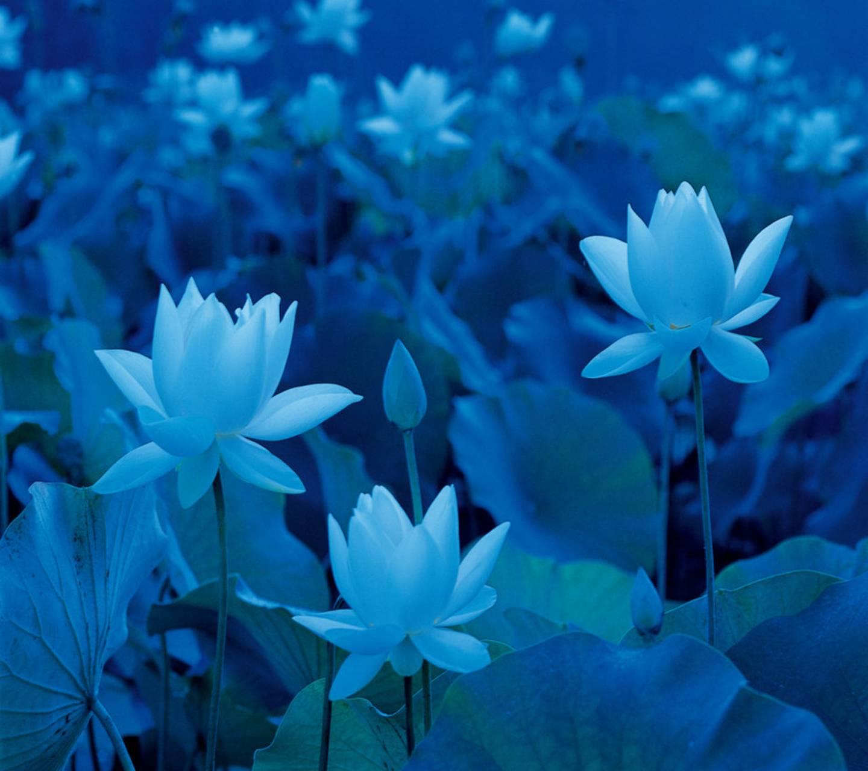 Ảnh hoa sen xanh đẹp