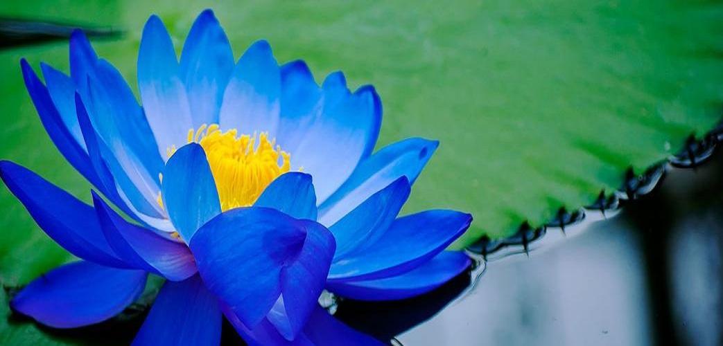 Ảnh hoa sen xanh dương cực đẹp