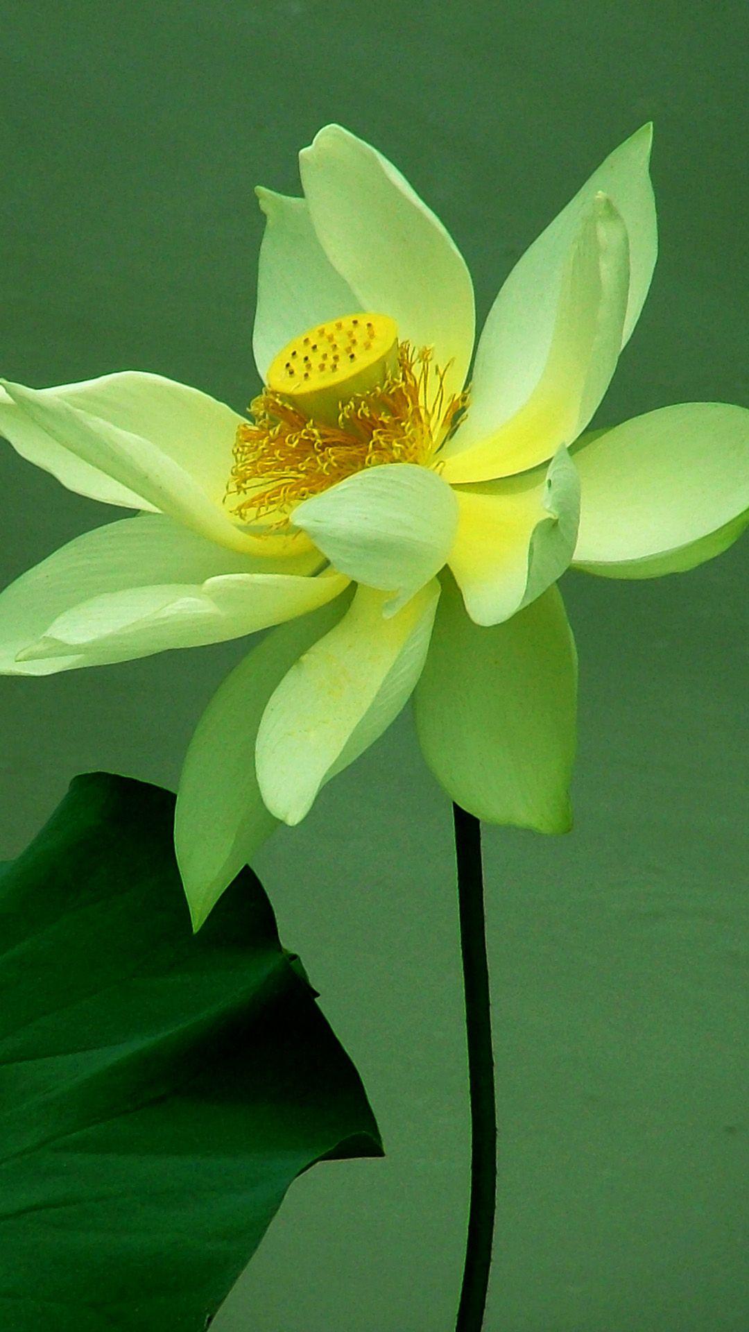 Ảnh hoa sen xanh hiếm