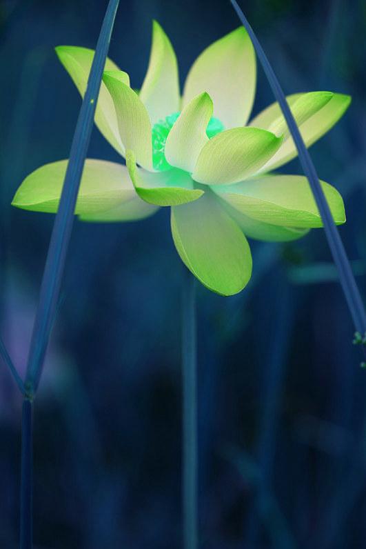 Ảnh hoa sen xanh lá cực đẹp