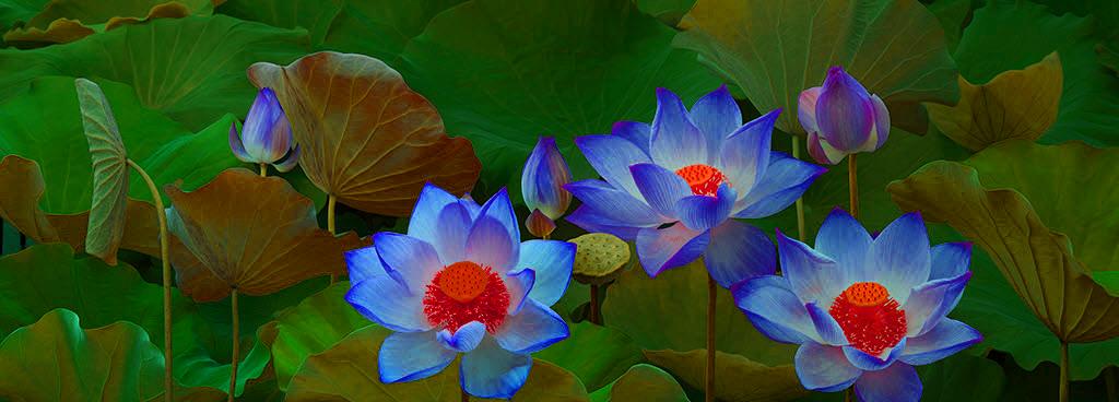 Ảnh hoa sen xanh nhị vàng