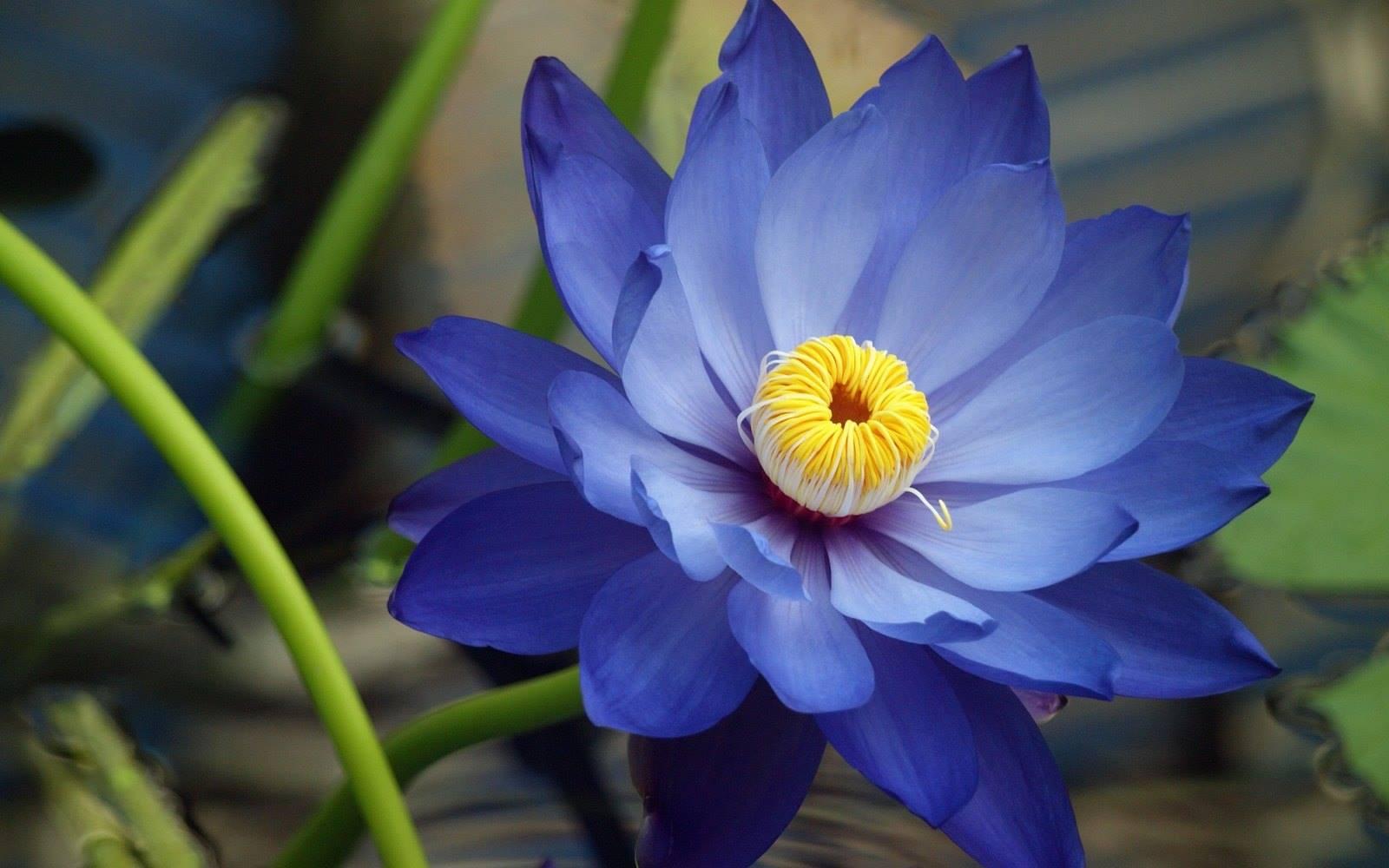 Ảnh hoa sen xanh tím đẹp nhất
