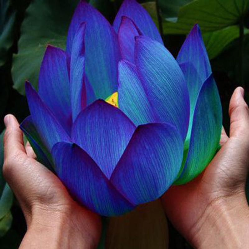 Ảnh hoa sen xanh tím than đẹp nhất