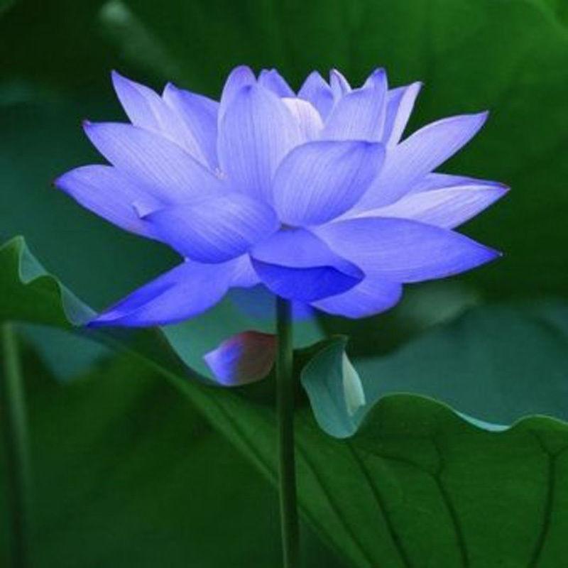 Ảnh hoa sen xanh tím than đẹp