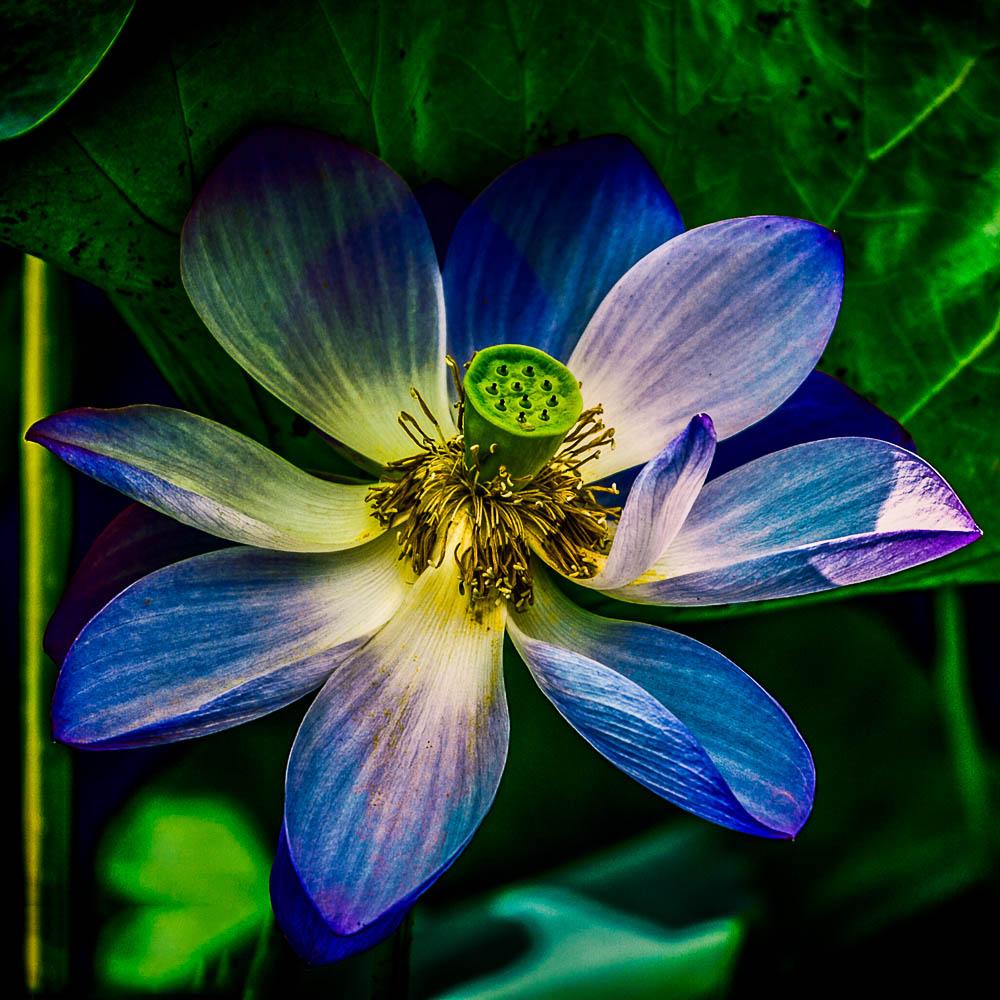 Ảnh hoa sen xanh tím than tàn