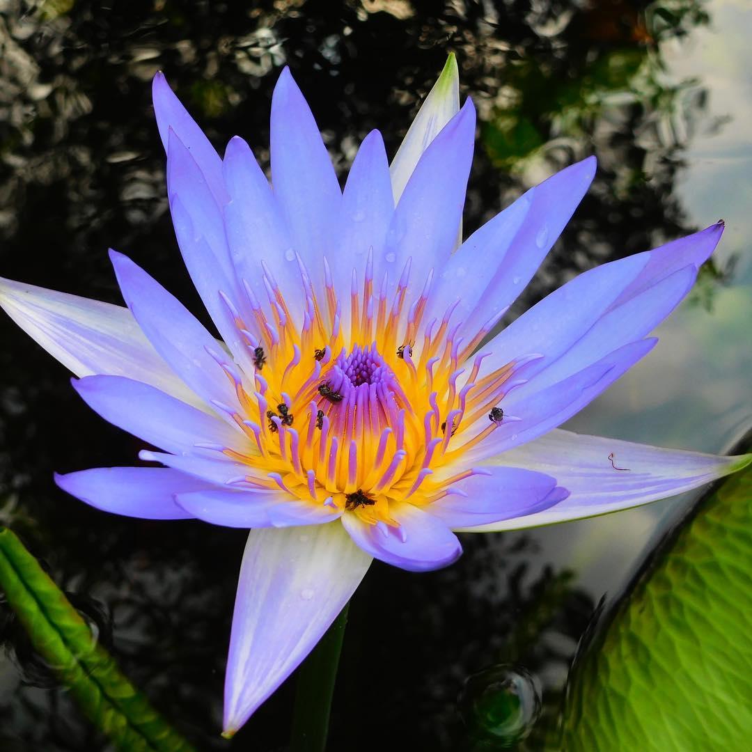 Ảnh hoa sen xanh tím