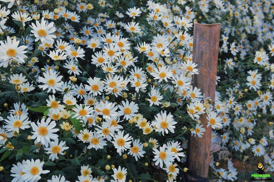 Ảnh vườn hoa cúc hoạ mi